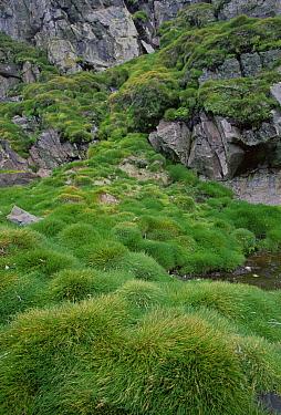 Antarctic Hairgrass (Deschampsia antarctica), Livingston Island, South Shetland Islands, off tip of Antarctic Peninsula, Antarctica  -  Colin Monteath/ Hedgehog House