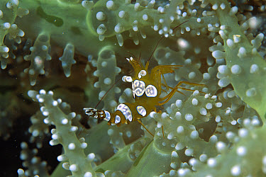 Squat Anemone Shrimp (Thor amboinensis), Sulu Sea, Borneo, Malaysia  -  Hiroya Minakuchi