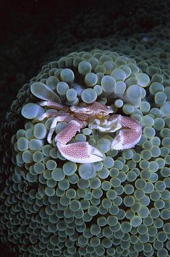 Spotted Anemone Crab (Neopetrolisthes maculatus) living in Sea Anemone tentacles, Sulu Sea, Borneo, Malaysia  -  Hiroya Minakuchi