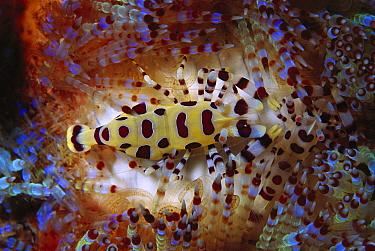 Coleman's Shrimp (Periclimenes colemani) living among the venomous spines of a sea urchin, Sulu Sea, Borneo, Malaysia  -  Hiroya Minakuchi