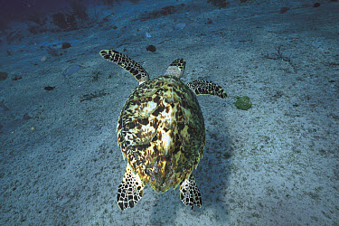 Hawksbill Sea Turtle (Eretmochelys imbricata) swimming underwater, Sipadan Island, Borneo, Malaysia  -  Hiroya Minakuchi