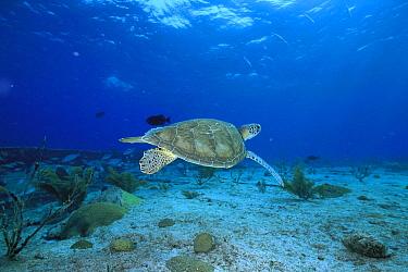 Green Sea Turtle (Chelonia mydas) underwater, Sipadan Island, Borneo, Malaysia  -  Hiroya Minakuchi
