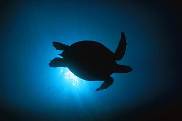 Green Sea Turtle (Chelonia mydas) silhouetted underwater, Sipadan Island, Borneo, Malaysia  -  Hiroya Minakuchi