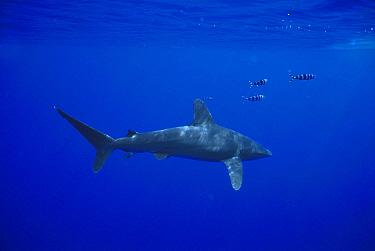 Oceanic White-tip Shark (Carcharhinus longimanus) with symbiotic Pilot Fish (Naucrates ductor), Hawaii  -  Hiroya Minakuchi