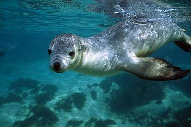 Australian Sea Lion (Neophoca cinerea) underwater portrait, South Australia  -  Hiroya Minakuchi