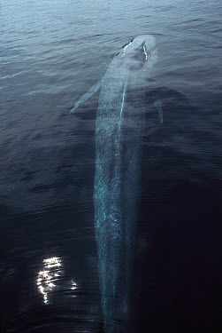 Blue Whale (Balaenoptera musculus) surfacing to breath, largest animal on earth, Sea Cortez, Baja California, Mexico  -  Hiroya Minakuchi