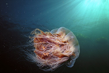 Lion's Mane (Cyanea capillata) jellyfish Johnstone Strait, British Columbia, Canada  -  Hiroya Minakuchi