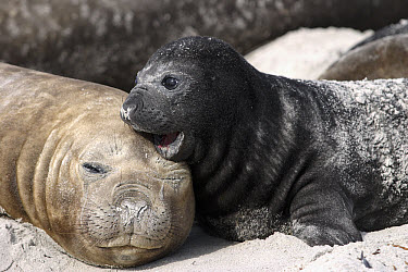 Southern Elephant Seal (Mirounga leonina) mother and pup, Falkland Islands  -  Hiroya Minakuchi