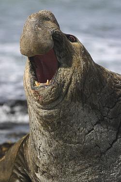 Southern Elephant Seal (Mirounga leonina) male roaring, Falkland Islands  -  Hiroya Minakuchi