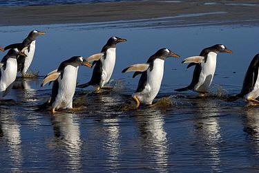 Gentoo Penguin (Pygoscelis papua) group walking in water, Falkland Islands  -  Hiroya Minakuchi