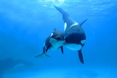 Orca (Orcinus orca) mother and newborn baby, Sea World, Kamogawa, Japan  -  Hiroya Minakuchi