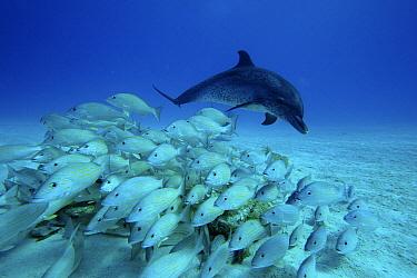 Atlantic Spotted Dolphin (Stenella frontalis) chasing school of snappers, Bahamas, Caribbean  -  Hiroya Minakuchi