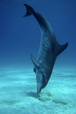 Atlantic Spotted Dolphin (Stenella frontalis) foraging for fish hidden in ocean floor, Bahamas, Caribbean  -  Hiroya Minakuchi