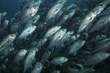 Bigeye Trevally (Caranx sexfasciatus) school swimming off Sipadan Island, Celebes Sea, Borneo  -  Hiroya Minakuchi