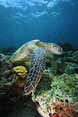 Green Sea Turtle (Chelonia mydas) on coral reef, endangered, Sipadan Island, Celebes Sea, Borneo  -  Hiroya Minakuchi
