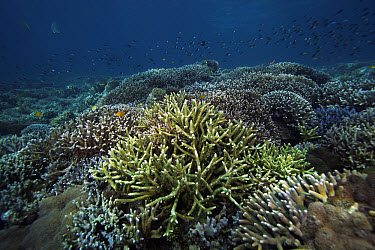 Staghorn Coral (Acropora cervicornis) in coral reef around Sipadan Island, Celebes Sea, Borneo  -  Hiroya Minakuchi