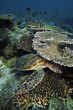 Green Sea Turtle (Chelonia mydas) resting beneath ledge on coral reef, endangered, Sipadan Island, Celebes Sea, Borneo  -  Hiroya Minakuchi