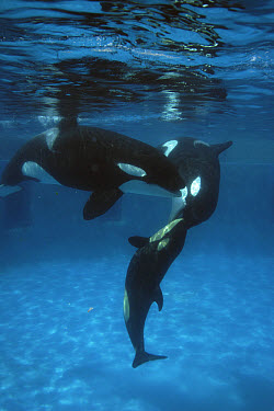 Orca (Orcinus orca) mother licking newborn baby with her sister nearby, Sea World, Kamogawa, Japan  -  Hiroya Minakuchi