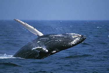 Humpback Whale (Megaptera novaeangliae) breaching, Stellwagen Bank National Marine Sanctuary, Cape Cod, Massachusetts  -  Hiroya Minakuchi