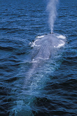 Blue Whale (Balaenoptera musculus) spray from blowhole, endangered, Sea of Cortez, Mexico  -  Hiroya Minakuchi
