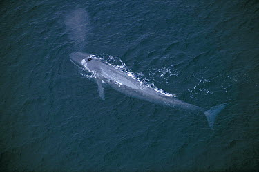 Blue Whale (Balaenoptera musculus) spray from blowholes, endangered, Sea of Cortez, Mexico  -  Hiroya Minakuchi