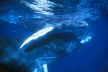 Humpback Whale (Megaptera novaeangliae) mother and young calf in breeding grounds, Silver Bank, Dominican Republic  -  Hiroya Minakuchi