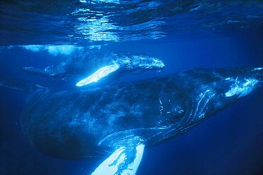 Humpback Whale (Megaptera novaeangliae) mother and calf underwater in breeding ground, Silver Bank, Dominican Republic  -  Hiroya Minakuchi