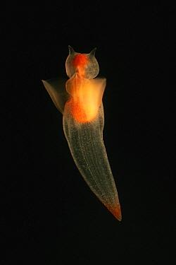 Naked Sea Butterfly (Clione limacina) a kind of sea butterfly, aquarium, Japan  -  Hiroya Minakuchi