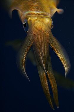 Bigfin Reef Squid (Sepioteuthis lessoniana) in school of same sized individuals, Japan  -  Hiroya Minakuchi