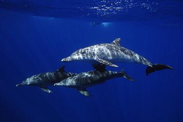 Indo-Pacific Bottlenose Dolphin (Tursipos aduncus) trio, Ogasawara Island, Japan  -  Hiroya Minakuchi