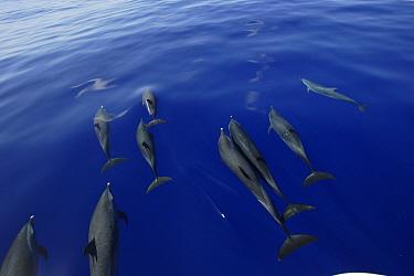 Pantropical Spotted Dolphin (Stenella attenuata) pod bow riding, Ogasawara Island, Japan  -  Hiroya Minakuchi