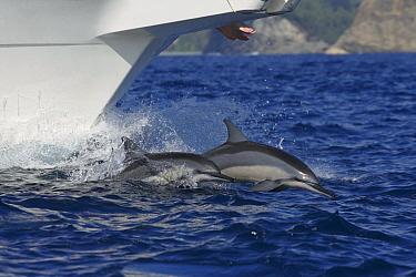 Spinner Dolphin (Stenella longirostris) pair bow riding, Ogasawara Island, Japan  -  Hiroya Minakuchi