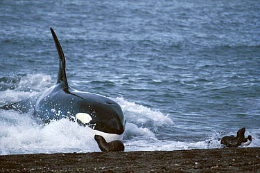 Orca (Orcinus orca) male beaching himself trying to catch sea lions, Argentina  -  Hiroya Minakuchi