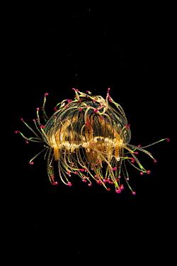 Flower Hat Jelly (Olindias formosa), native to Brazil, Argentina and Japan  -  Hiroya Minakuchi