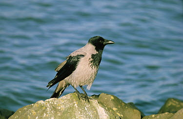 Hooded Crow (Corvus cornix) perched on rock, Europe  -  Jan Sleurink/ NiS