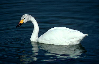 Bewick's Swan (Cygnus columbianus bewickii) swimming, Europe  -  Jan Sleurink/ NiS