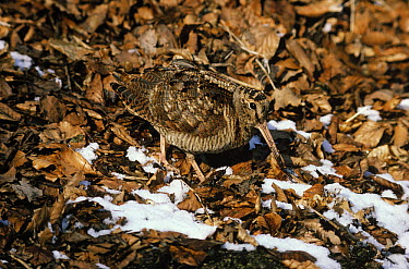 Eurasian Woodcock (Scolopax rusticola) camouflaged against the ground where it is foraging for food, Europe  -  Frits van Daalen/ NiS