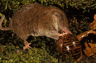 Bicolor White-toothed Shrew (Crocidura leucodon) eating a snail, Europe  -  Wil Meinderts/ Buiten-beeld