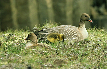 Pink-footed Goose (Anser brachyrhynchus) two adults resting with a chick, Europe  -  Flip de Nooyer