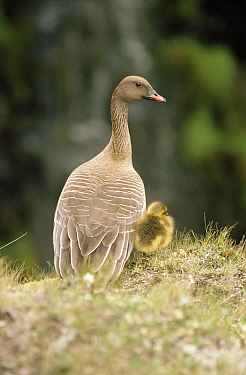 Pink-footed Goose (Anser brachyrhynchus) parent and chick, Europe  -  Flip de Nooyer
