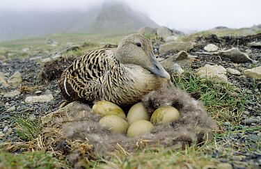 Common Eider (Somateria mollissima) adult female at down nest with eggs, Europe  -  Flip de Nooyer