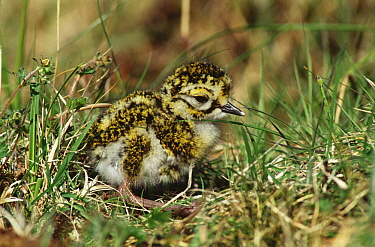 Golden Plover (Pluvialis apricaria) young chick in grass, Norway  -  Flip de Nooyer