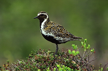 Golden Plover (Pluvialis apricaria) adult in summer plumage, Norway  -  Flip de Nooyer