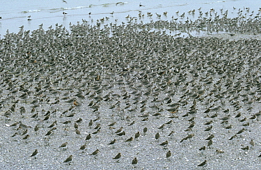 Red Knot (Calidris canutus) flock resting on shore, Europe  -  Flip de Nooyer