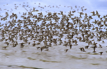 Red Knot (Calidris canutus) flock flying over the sea, Europe  -  Flip de Nooyer