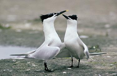 Sandwich Tern (Thalasseus sandvicensis) adult pair performing courtship display, Europe  -  Flip de Nooyer