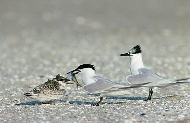 Sandwich Tern (Thalasseus sandvicensis) adult feeding small fish to its chick, Europe  -  Flip de Nooyer