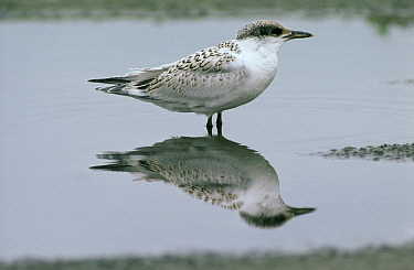 Sandwich Tern (Thalasseus sandvicensis) juvenile male standing in shallow water with reflection, Europe  -  Flip de Nooyer