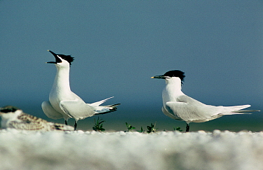Sandwich Tern (Thalasseus sandvicensis) two adults with one calling, Europe  -  Flip de Nooyer