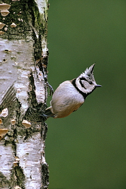 Crested Tit (Lophophanes cristatus) adult perched on tree trunk, Europe  -  Flip de Nooyer